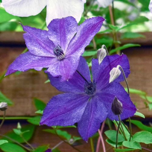Clematis SUPER NIGHT PBR Zo11112